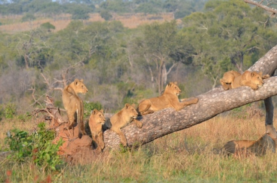 Lions on a Tree